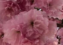 八重桜3ドアップ2